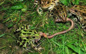 Las ranas leopardo del norte comiendo gusano