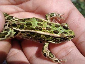 Mascota de la rana leopardo en la mano del hombre