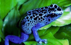 Rana dardo veneno azul en las hojas