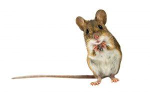 Las Mejores Maneras de Deshacerse de los Ratones (Rápido): La Guía Definitiva