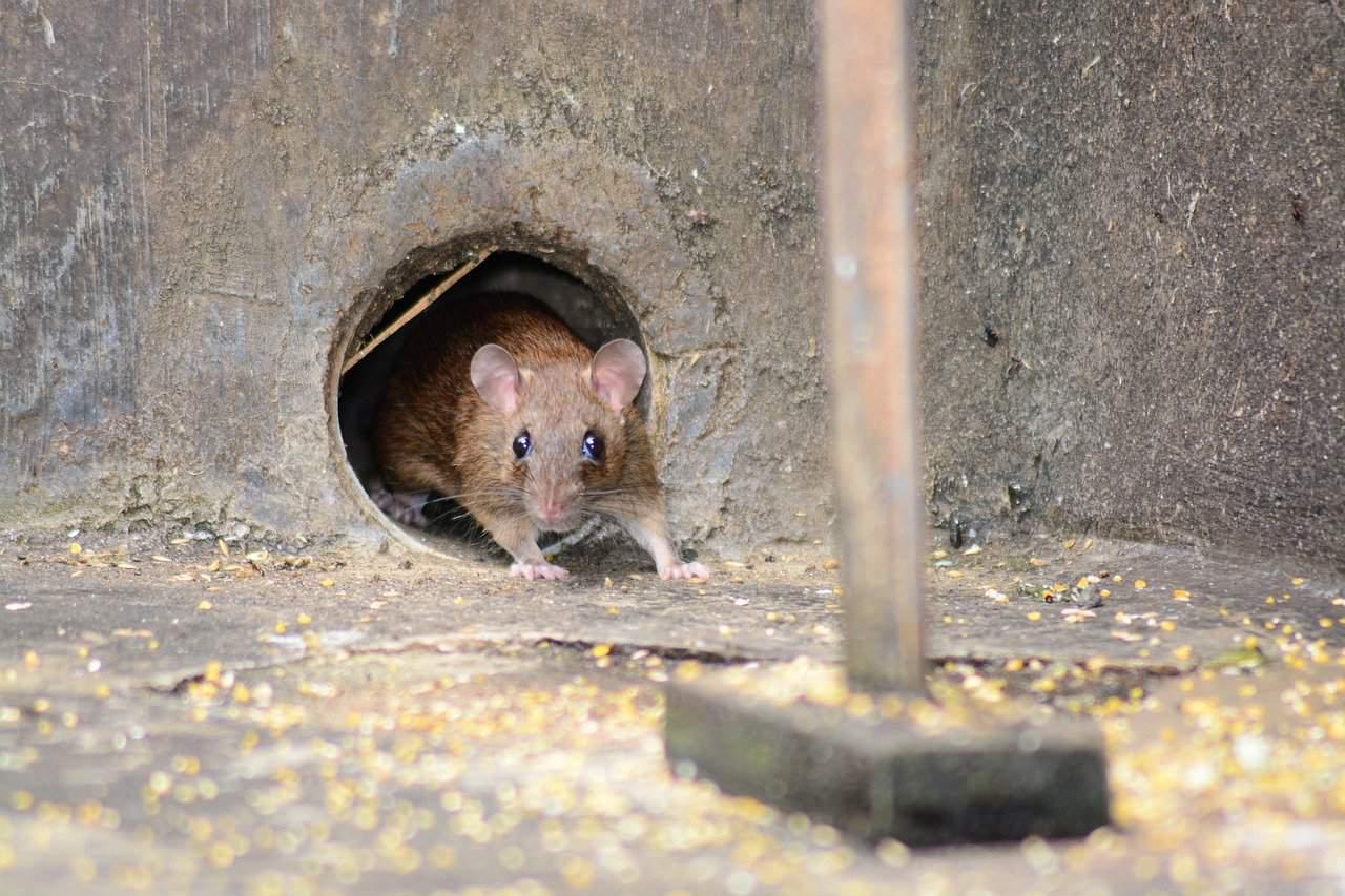 Dónde buscar ratones fuera de casa