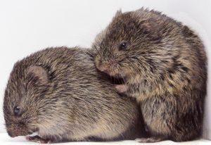 Dos ratón de campo están hablando en el blanco