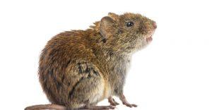 Cómo Deshacerse de los Ratón De Campo: Soluciones que los Alejan