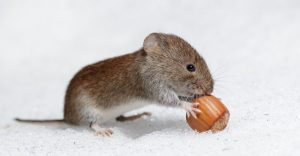 Ratón De Campo: 15 Hechos Interesantes y 4 Formas de Prevenirlos