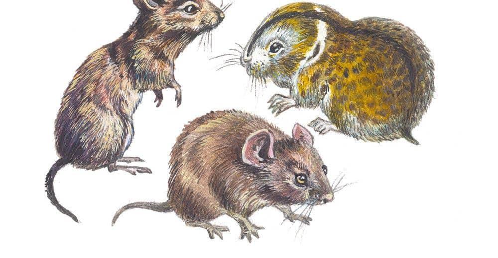 Ratón De Campo Vs Topo: 7 Diferencias Sorprendentes que Nunca Sabrás