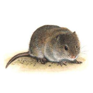Ratón de campo en el suelo