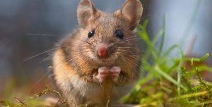 Ratón de Campo 101: Hechos y Consejos para Deshacerse de los Ratones de Campo