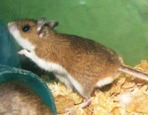 Un ratón de ciervo en una jaula