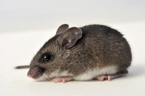 Ratones de Ciervo: Datos Generales y Cómo Gestionarlos y Controlarlos?