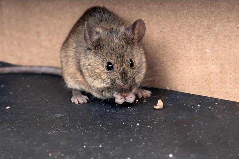 Primer plano de un ratón de casa