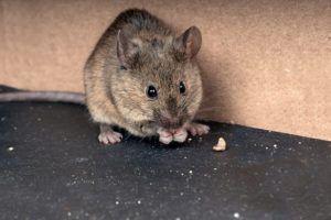 Un ratón de la casa en el suelo