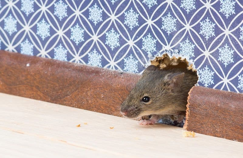 6 signos de una casa de la infestaci n del rat n y c mo deshacerse de ella plagaswiki - Raton en casa ...