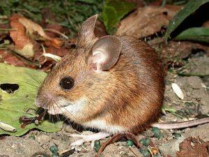 Un ratón de madera en salvaje