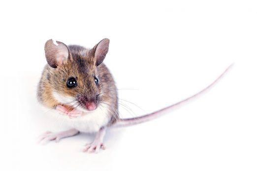 Un ratón de campo sobre fondo blanco