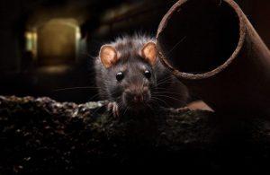 Ratas: Identificación, Prevención y cómo Deshacerse de ellas