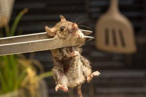 Una rata está en pinzas