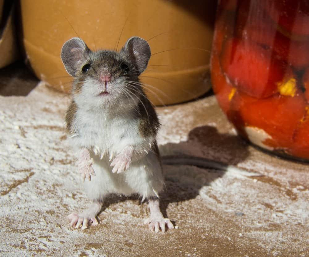 Una rata está de pie frente a la cámara