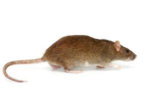 Ratas de Noruega: Hechos y Cómo Deshacerse de ellos