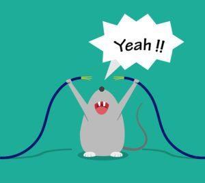 Rata mala es feliz mordiendo cables