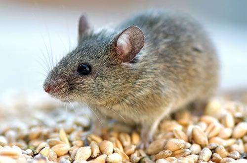 Una rata linda en las rocas