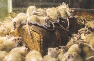Muchas ratas yaciendo juntas
