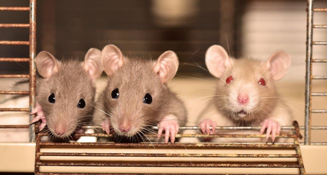 Cómo Atrapar una Rata, Deshacerse de ellos y lo que los Cebos Aman a las Ratas