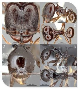 Scolopendra Cataracta