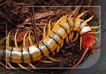 Scolopendra Polymorpha