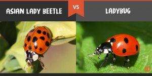 Escarabajos Asiáticos VS Mariquitas: un Parecido Familiar Cercano