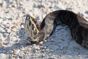 La Serpiente bucal de algodón tumbada en la madera