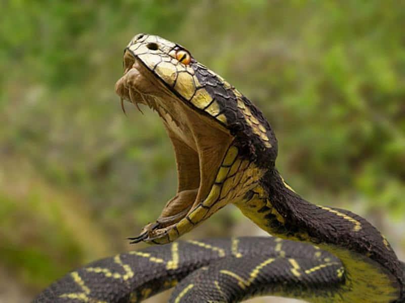 Cómo Tratar las Mordeduras de Serpiente: 6 Pasos Esenciales