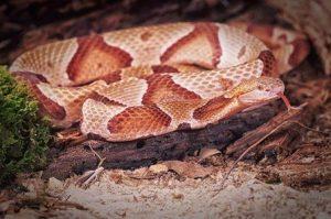 Una serpiente cabeza de cobre durmiendo en el árbol