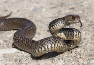 Imagen de una serpiente marrón oriental en el suelo