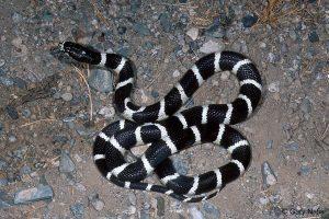 Primer plano de una serpiente negra rey