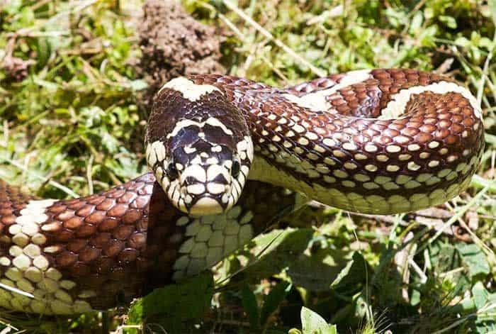 Serpiente Rey: Hechos y 5 Especies que debes Saber