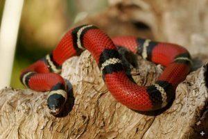 Serpiente rey de San Diego descansando en el árbol