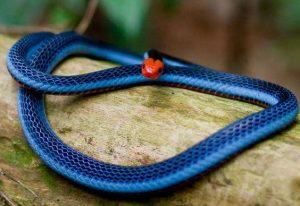 Serpiente azul malaya de coral tumbada en el árbol