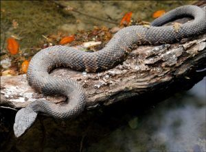 Primer plano de una serpiente boca de algodón acostado en la roca