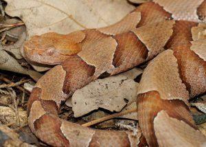 Cabeza de cobre en hojas