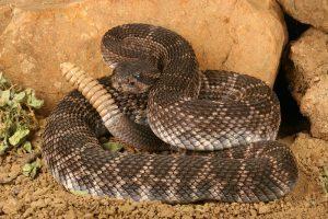 Serpiente de cascabel marrón tumbada en el desierto