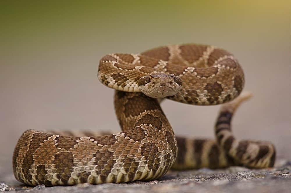 Primer plano de una serpiente de cascabel