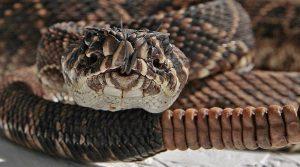 Principales Hechos y Especies de Serpiente de Cascabel