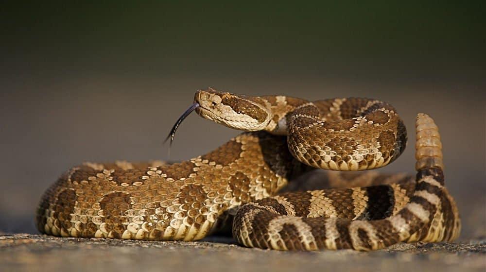 Una serpiente de cascabel está tumbada en la arena