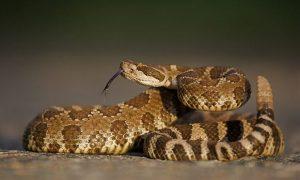 Una serpiente de cascabel en una postura amenazante