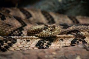 Serpiente de cascabel de madera en el desierto