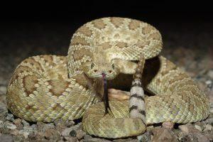Mohave serpiente de cascabel mostrando su lengua