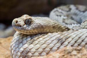Un primer plano de una serpiente de cascabel de la isla catalina