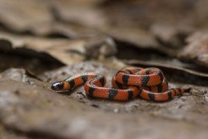 Serpiente de Coral de Bibron tumbada en el suelo