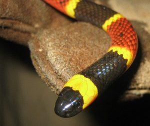 Imagen de una serpiente de coral oriental