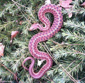 La serpiente de la liga rosa en la hierba